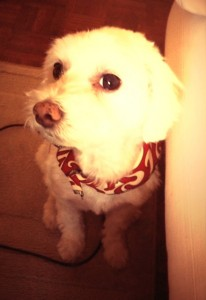 Buddy Bichon Poodle Maltese
