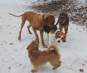 THIS is what an unhappy dog looks like. The Ridgeback is being a jerk.