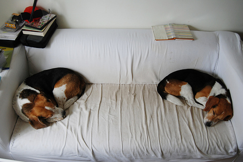 Duke and Petey Beagles