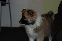 Icelandic Sheepdog Photo Set on Flickr