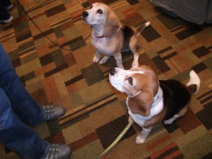 Beagles at ClickerExpo