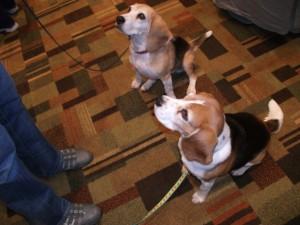 Beagles at ClickerExpo