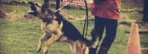 A fear aggressive / reactive German Shepherd lunges at another dog