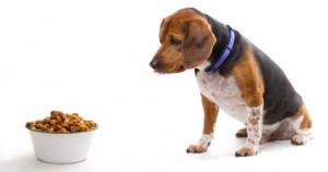 Beagle is suspicious of food