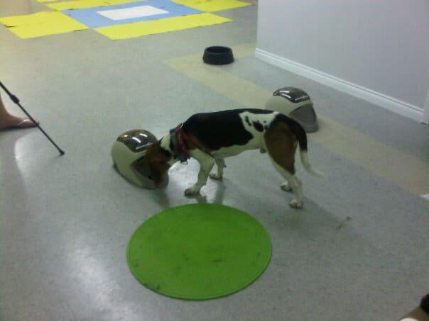 Farley the Beagle