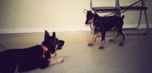 German Shepherd and Doberman Puppy Play