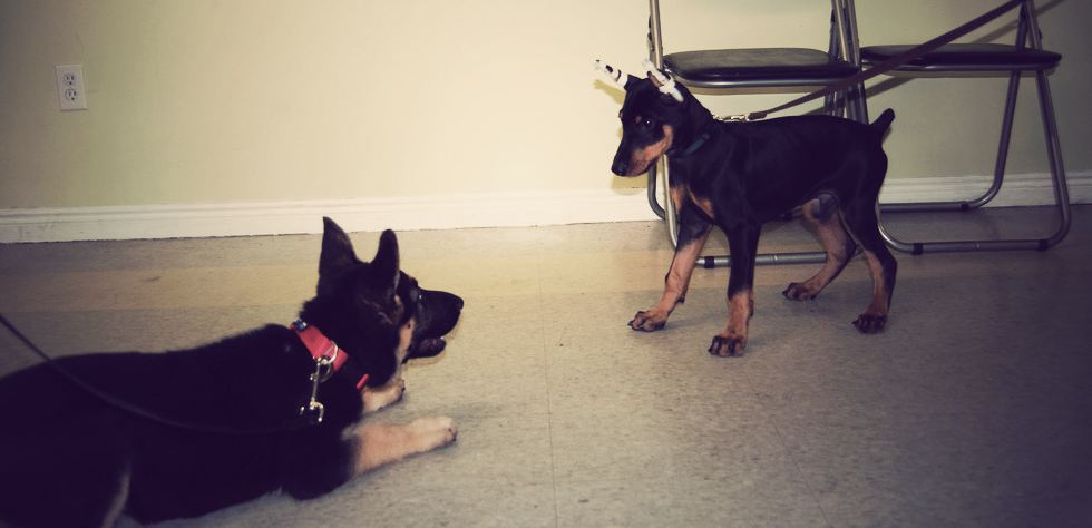 German Shepherd and Doberman Puppy Play