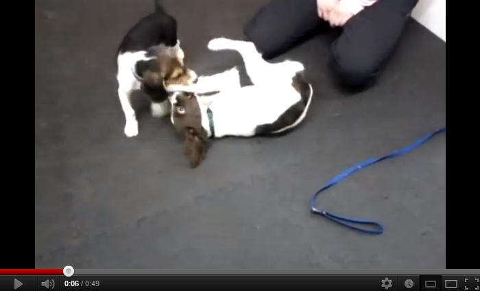 Beagle and Springer Spaniel