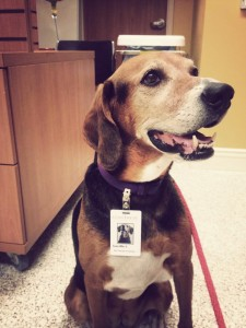Lucille was adopted at the age of 5 from the Oakville/Milton Humane Society. After completing Foundation Skills and Canine Good Neighbour classes, she recently passed her St. John's Therapy Dog exam! Here she is pictured at work with her therapy dog ID badge.