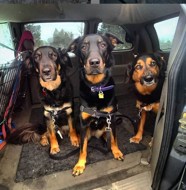 Dogs in Dog Walker Van